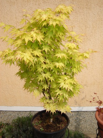 "Acer palmatum ""Orange dream"""